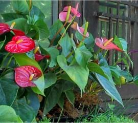 Plantas que se pueden utilizar en jardines verticales for Jardines de anturios